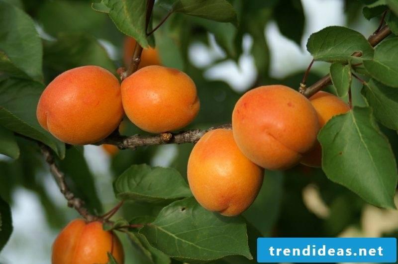 Growing trellis fruit apricots