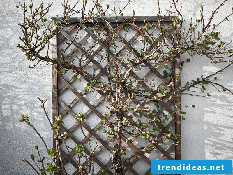 Grow fruit trellis wooden lattice