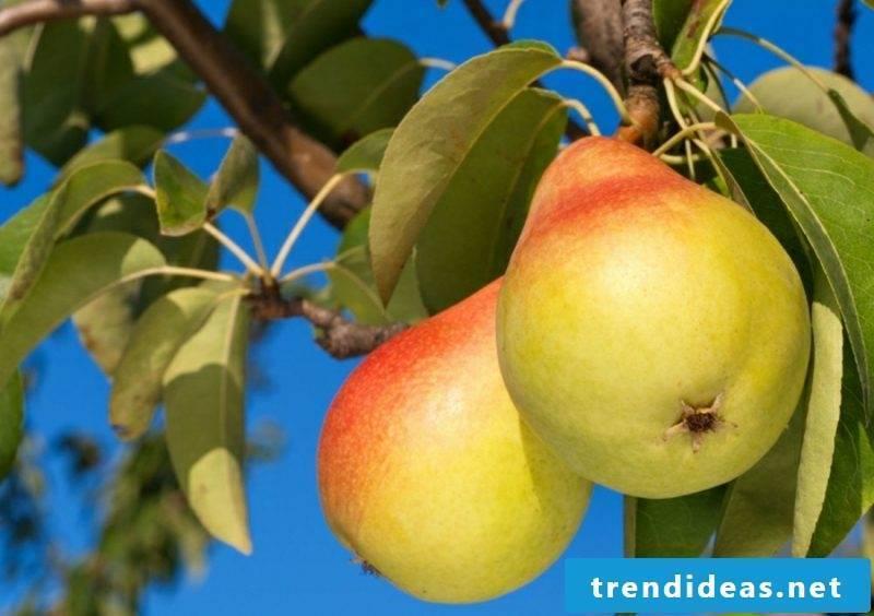 Trellis fruit grow pears