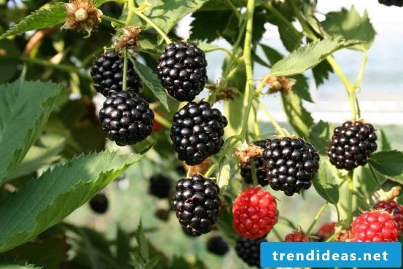 Trellis fruit blackberries ideas and inspirations