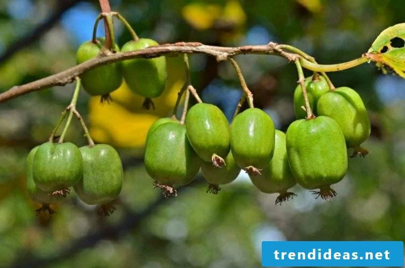 Trellis fruit in the small garden grow kiwi