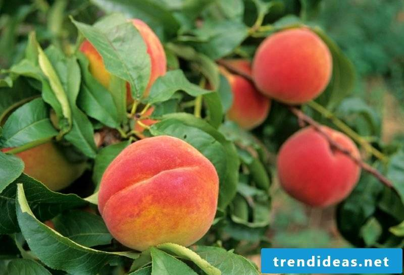 Trellis fruit peaches creative ideas garden