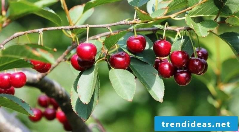 Grow trellis fruit sour cherry