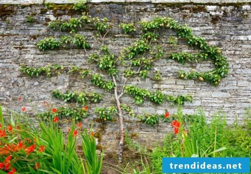 Trellis garden fence fruit tree original look