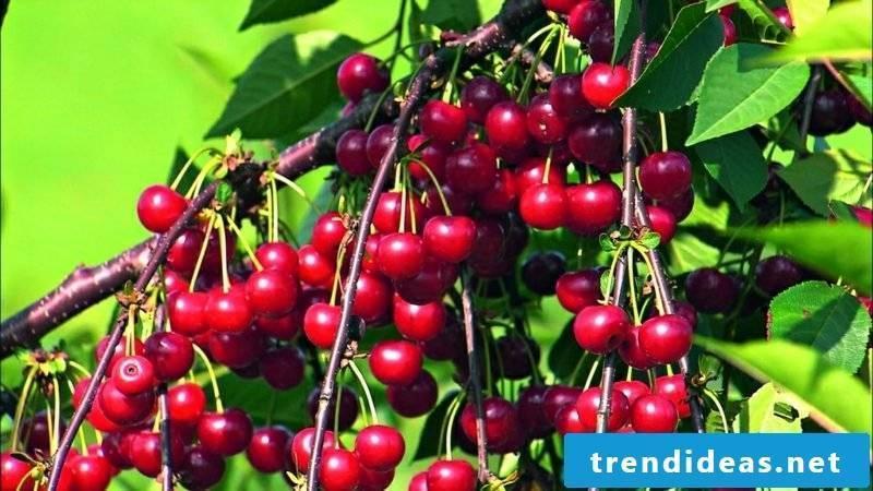 Trellis fruit sour cherry garden design ideas