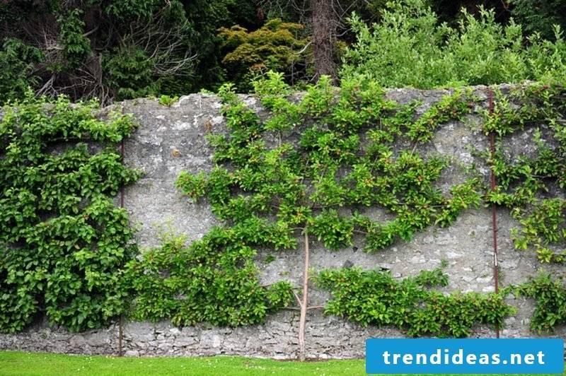 Fruit tree garden fence gorgeous look
