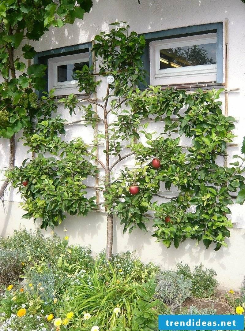 Growing trellis fruits House facade