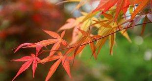 Japanese maple visually enhances the garden area