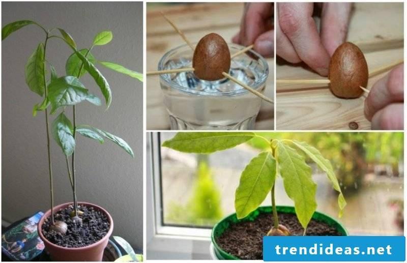 Plant avocado