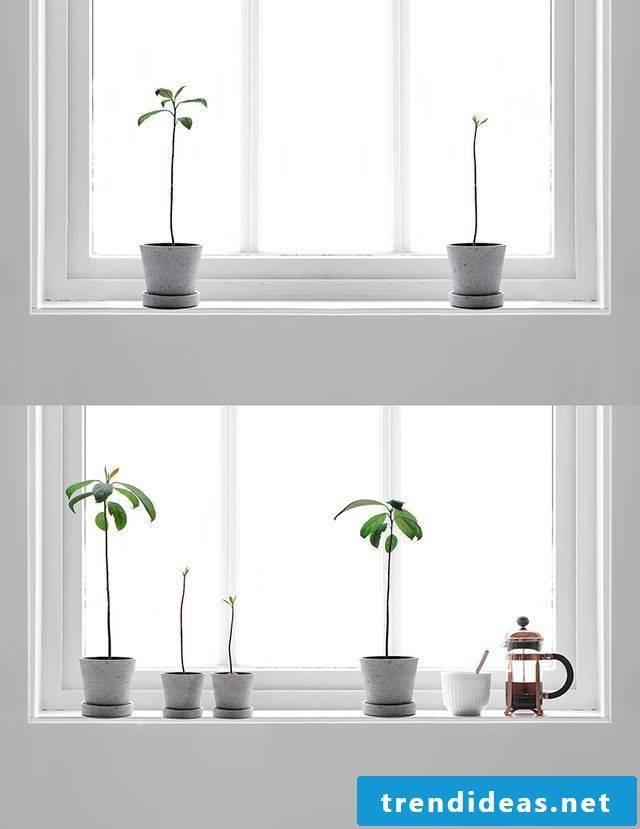 Avocado tree as a houseplant or in the garden?