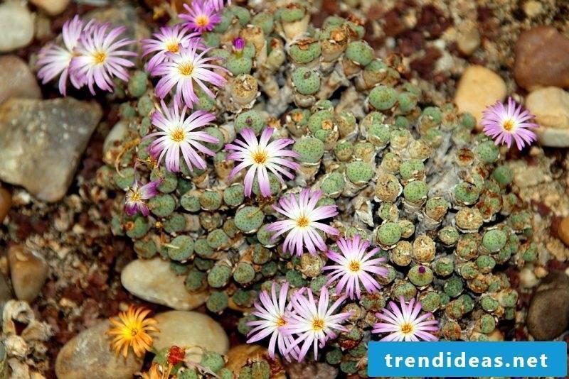 Indoor plants determine living stones