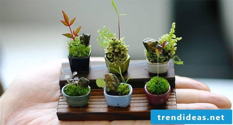 Indoor plants determine mini bonsai