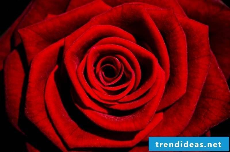 red rose alchemy flower eros principle lotus mandala plant pink rosary
