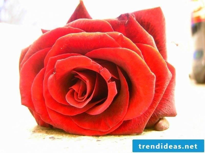 Lotus MandalaPink Rosary Red Plants Rubedo