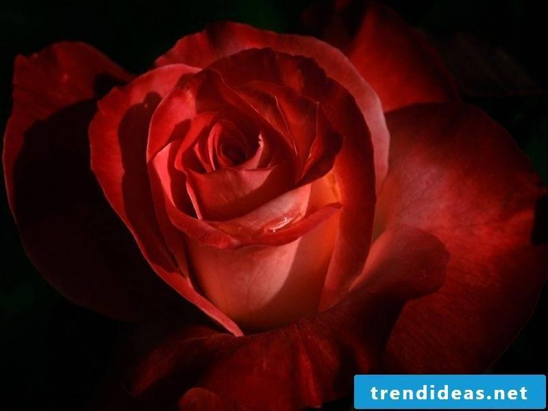 Valentine's Day: Alternatives for roses in February