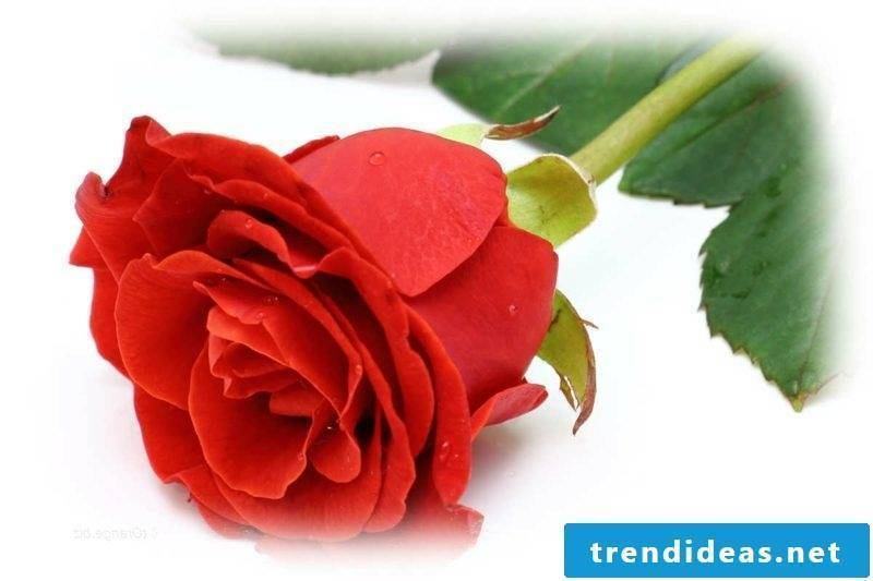 The Red Rose A Symbol Of Love Best Trend Ideas
