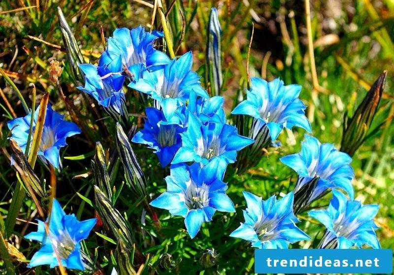 deep blue blossomed October gentian