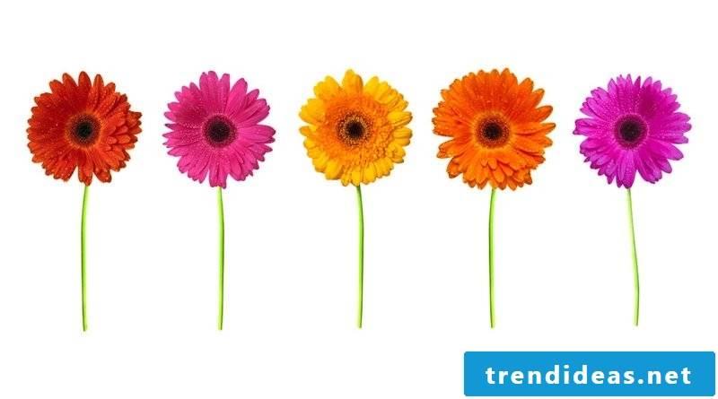 flowers gerbera