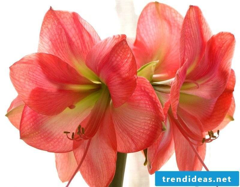 flowers amaryllis bouquet pictures