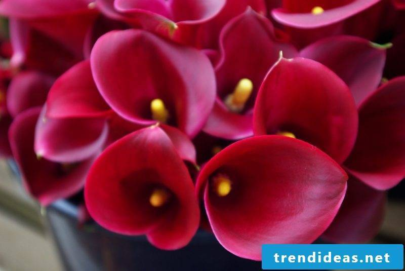 flowers calla flower types